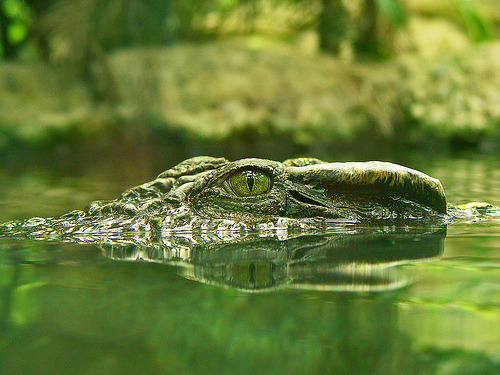 theanimalblog:  Crocodile's eye (by Tambako the Jaguar)