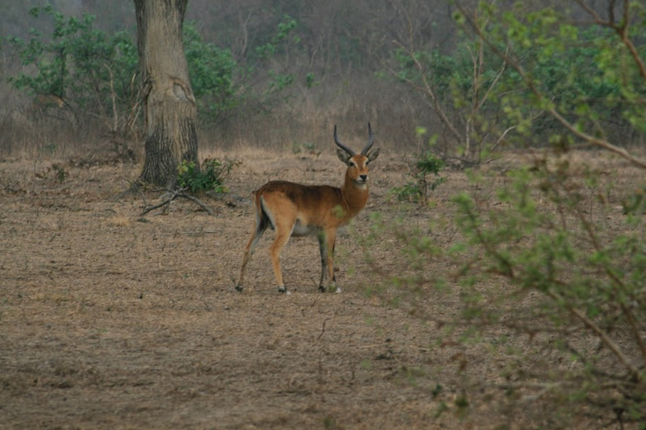 Fauna & Flora in Ghana Antelopes at Paga National Park, Northern region.