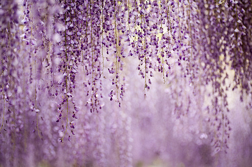 lovely-beautifulthings:  Lavender