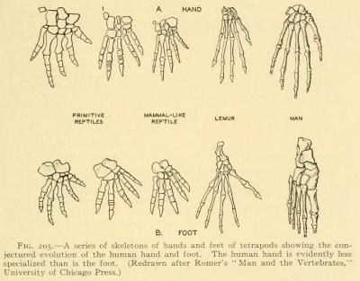 Comparative anatomy of feet and hands. The Comparative Anatomy of the Domesticated Animals. A. Chauveau, 1873.