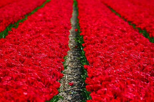 cruisingthesites:  r0serade:  Keukenhof - How wants a tulip??? (by kees straver)  You have to follow this blog, it's amazing