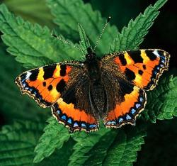 A century old mystery has been solved by a new study showing how butterflies mimic the wing patterns of other species to escape being eaten by birds. The study is published today in the international journal Nature.Dr Siu Fai (Ronald) Lee from the Department of Genetics and Bio21 Institute, University of Melbourne, travelled to the UK to join the research team, led by scientists at CNRS (Muséum National d'Histoire Naturelle, Paris) and the University of Exeter (UK).Researchers studied the Amazonian butterfly Heliconius numata to understand how it imitates other species with an equally unpleasant taste. This trick is known as Müllerian mimicry; a predator that has learned to avoid an organism with certain markings, will avoid all similar-looking species.