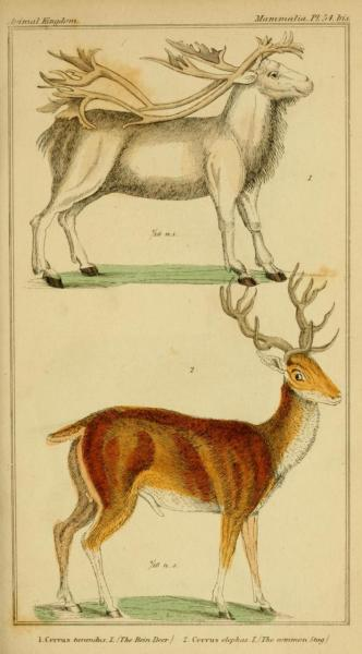 Cuvier Day Reindeer and roe deer stag. Cuvier classified organisms into 4 classes: Vertebrata, Articulata (arthropods & segmented worms), Mollusca (considered to be all other squishy invertebrates), and Radiata (Cniderians/Echinoderms).