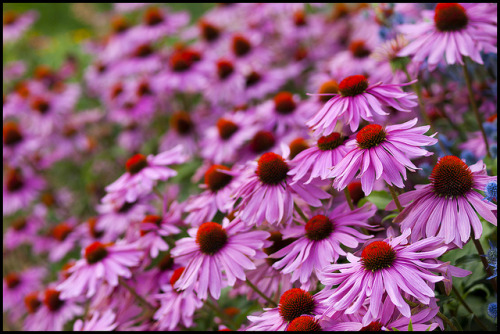 simplycutebecka:  Purple coneflowers by Eric Flexyourhead on Flickr.