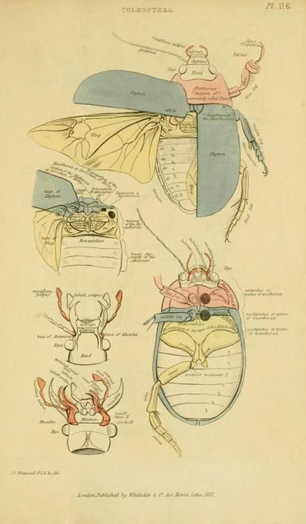 biomedicalephemera:  Cuvier Day Coleoptera anatomy. Cuvier studied at the Caroline Academy in Stuttgart, and like in all of his other schooling, he excelled at classes. He also learned German (which he had never learned a word of before attending) quickly enough that he won a school German competition just nine months after he began his classes at the school.