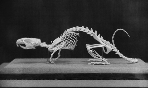 metalographerphotography:Rat-Skeleton. I would not have had the patience to piece this together.That is unbelievable craftsmanship.