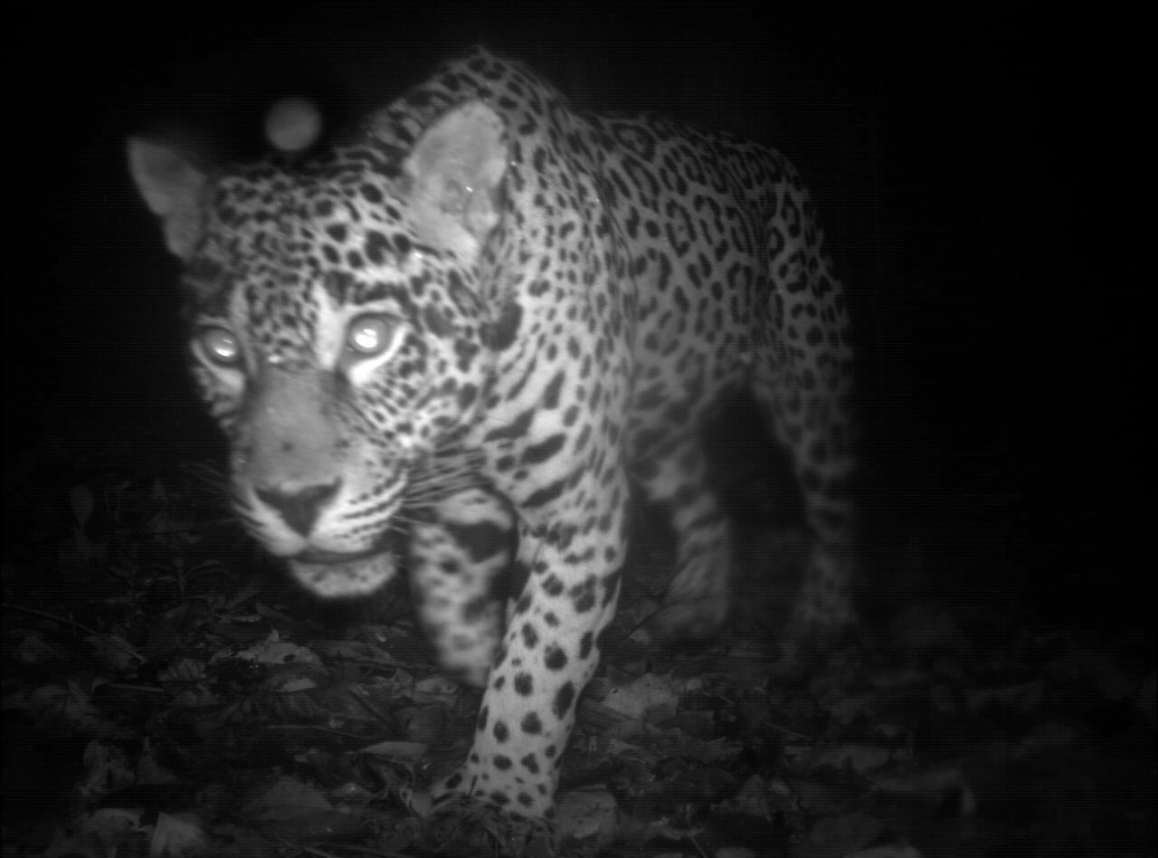 Photos: Mammals caught in camera trapsThe first Global Camera Trap Mammal study done by The Tropical Ecology Assessment and Monitoring Network (TEAM) has documented 105 species in nearly 52,000 images from seven protected areas across the Americas, Africa and Asia. Time is running out to craft a global plan that will save the world's rich biodiversity of mammals, a quarter of whose species could be wiped out by habitat loss, hunting, climate change and other threats, biologists warn on August 16, 2011.