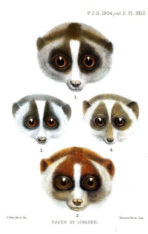 Faces of Lorises (1904) – Joseph Smit (Dutch, 1836–1929)