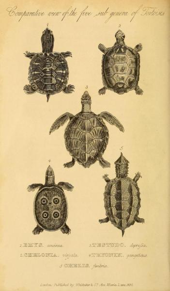 Cuvier Day Turtle juveniles. Cuvier had a younger brother named Frederic, who was also a naturalist. He was mentioned by Darwin as having determined many facts regarding differentiating habit and instinct. Frederic wrote a Natural History book with Etienne Geoffroy Saint-Hilaire, with whom his older brother had significant ideological differences. Still, all three men recognized each other as respectable and important natural history writers.