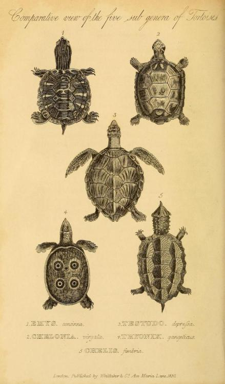 biomedicalephemera:  Cuvier Day Turtle juveniles. Cuvier had a younger brother named Frederic, who was also a naturalist. He was mentioned by Darwin as having determined many facts regarding differentiating habit and instinct. Frederic wrote a Natural History book with Etienne Geoffroy Saint-Hilaire, with whom his older brother had significant ideological differences. Still, all three men recognized each other as respectable and important natural history writers.