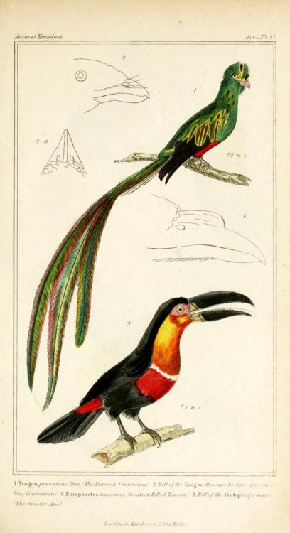 biomedicalephemera:  Cuvier Day Trogon and toucan. Cuvier's interest in natural history was first piqued by Gesner's natural history tomes and plates that he found at his Gymnase as a child.