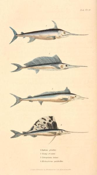 "Cuvier Day Swordfish and similar specimens. Though much of his classification work built off of Lamarck's categorization, Cuvier was highly skeptical if Lamarck's theories of evolution and differentiation. Cuvier was personal friends with Geoffroy St. Hilaire (another proponent of gradual changes in species), and though he respected Lamarck as a naturalist, he even wrote in his ""Elegy for Lamarck"" a fairly flippant refutation that Lamarckian evolution, ""…rested on two arbitrary suppositions; the one, that it is the seminal vapor which organizes the embryo; the other, that efforts and desires may engender organs. A system established on such foundations may amuse the imagination of a poet; a metaphysician may derive from it an entirely new series of systems; but it cannot for a moment bear the examination of anyone who has dissected a hand, a viscus, or even a feather."""