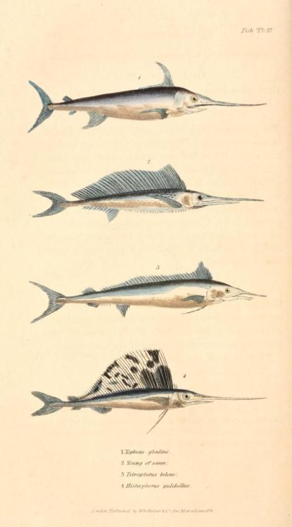 "biomedicalephemera:  Cuvier Day Swordfish and similar specimens. Though much of his classification work built off of Lamarck's categorization, Cuvier was highly skeptical if Lamarck's theories of evolution and differentiation. Cuvier was personal friends with Geoffroy St. Hilaire (another proponent of gradual changes in species), and though he respected Lamarck as a naturalist, he even wrote in his ""Elegy for Lamarck"" a fairly flippant refutation that Lamarckian evolution, ""…rested on two arbitrary suppositions; the one, that it is the seminal vapor which organizes the embryo; the other, that efforts and desires may engender organs. A system established on such foundations may amuse the imagination of a poet; a metaphysician may derive from it an entirely new series of systems; but it cannot for a moment bear the examination of anyone who has dissected a hand, a viscus, or even a feather."""