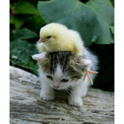 chickonkitten!