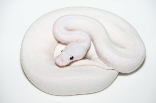 reptilesandexotics:  White Fire Ball Python.