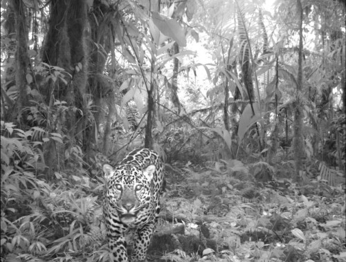 Wild Close-Ups of Rare Mammals From Huge Camera-Trap Study  A massive camera trap survey of tropical mammals around the world has returned a magical series of glimpses into animal life. The survey was conducted by Conservation International and partners and partners in South America, Africa and Asia. They installed 420 camera traps in key protected areas, amassing some 52,000 photographs between 2008 and 2010. For scientists, the survey's findings, published in the September Philosophical Transactions of the Royal Society B, represent an automated methodological approach to conducting large-scale ecological surveys. For everyone else, they're a chance to see animals in a new and intimate way. Unlike the sort of photographs seen in wildlife magazines, which are so technically perfect and highly produced as to seem posed, camera trap photos feel like behind-the-scenes snapshots. They're immediate and, in a sense, candid. They're the everyday reality of nature. Check out some of the photos here.