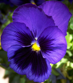 Blue Pansy Joy by cobalt123 on Flickr.