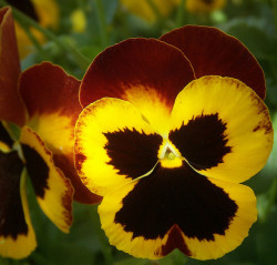 Warm Pansies in Arizona by cobalt123 on Flickr.
