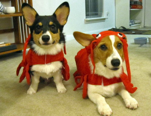 These corgis were upset when they learned that The Amanda Show hasn't actually aired a new episode in almost ten years.