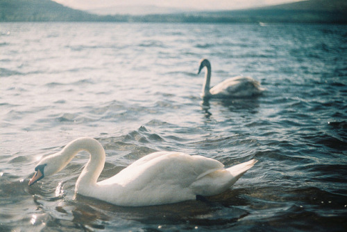 acraea:  Swans by Richard S J Gaston on Flickr.