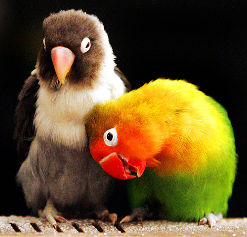 hellowaveforms:  theanimalblog:  Love Birds (by Alan Murray)  Curare! This reminds me of your awesome birds!  Thanks for the reblogging the pic! Lovebirds <3 Or as I call mine, squishy poo machines These are totally like my birds, the one on the right is Kumquat trying desperately (in vain) to get preened by Pomegranate. XD XD XD