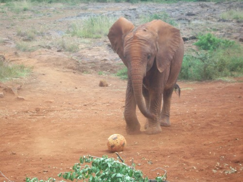 Everyone in Kenya, including the elephants, loves football : )