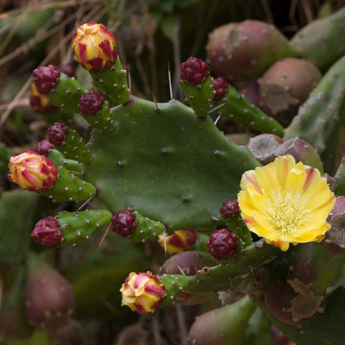 Prickly Pear Cactus (aka Paddle Cactus) Opuntia sp. in Greece.  I need to find a barren mountain so I can plant some of t