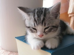 hellocute:  Sleepy kitty! (via pinterest)