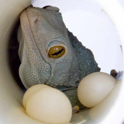 reptilesandexotics:  A male Powder Blue Tokay Gecko guarding his eggs.
