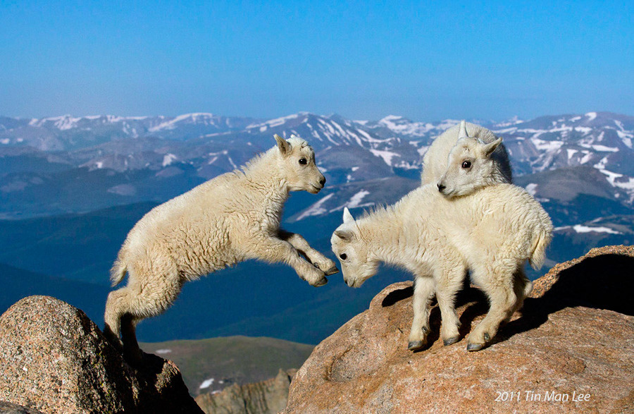 "Animal Photo of the Day Mountain goats are a more-than-familiar sight on the drive up to Mt. Evans, but their kids are where the real fun watching is.  despicablealexis:  ""Mountain goat kids, Mount Evans, Colorado"" by Tin Man Lee"