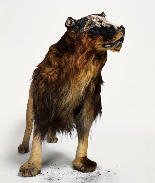 thesetoo:  In 2008, a fire swept through the Parisian taxidermy shop Deyrolle, and nearly 90 percent its menagerie was destroyed. Photographer Laurent Bochet shot more than 300 images of the charred collection, and his devastatingly beautiful photos were later released in the book, 1000° C.
