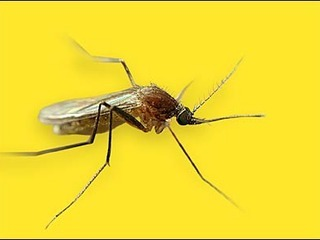 Mosquitoes at several sites test positive for West Nile - The Mass. Department of Public Health reported findings of West Nile virus in two mosquito pools in Andover and one in Saugus last Friday, after identifying two infested pools in Malden last Thursday and one in Medford.