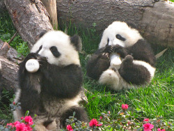 fuckyeahgiantpanda:  Two giant panda cubs at the Chengdu Giant Panda Base in 2010. © Sharky-san.
