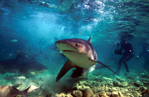 Bull_Shark_4c45a01db7d81 (by apexsharks)