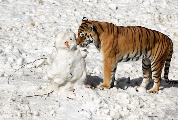 Siberian tiger Genghis takes as closer look at a snowman made by  staff at Blair Drummond Safari Park near Stirling, after eight tonnes of  snow was delivered to their Amur Tigers enclosure by SNO!zone in  Glasgow Picture: Andrew Milligan/PA
