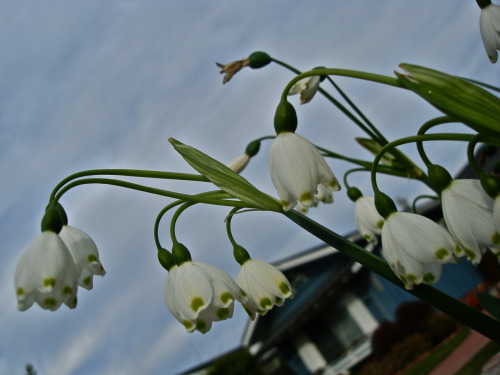 Snowdrops. In Russia, these little flowers come out when the snow is still covering the ground, some time in late February, early March. In Huntington Beach, CA…. you can find them in the middle of October!