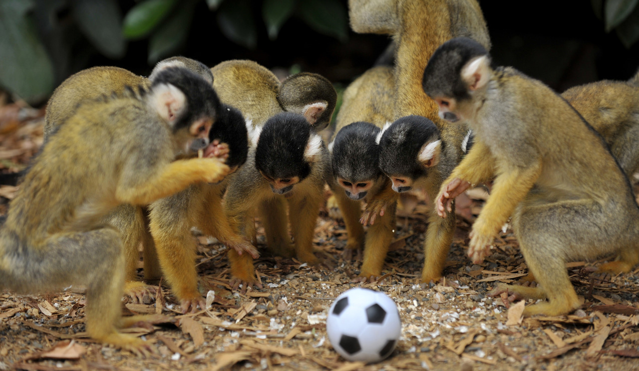 Photos of the dayBolivian squirrel monkeys gather around a toy ball at the London Zoo, August 18, 2011. (Ben Stansall/AFP/Getty Images)