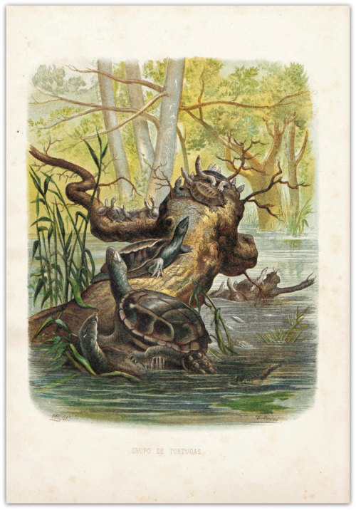 1874 Turtles Chromolithograph