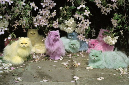 doubledreamer:  Pastel cats by Tim Walker  kitiiiiiiiz <3