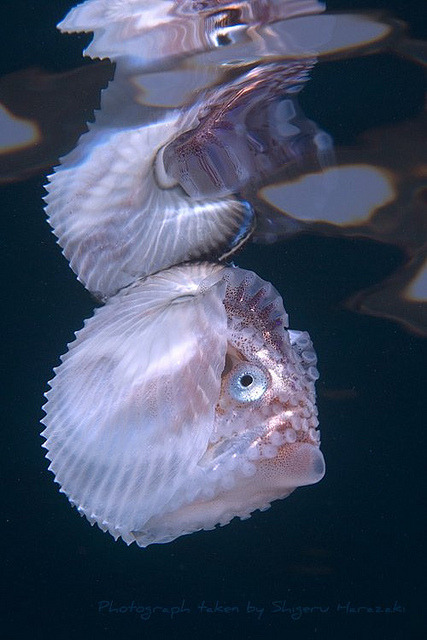 "animalworld:  KNOBBY ARGONAUTArgonauta nodosa© shigeru.harazaki The knobby or knobbed argonau is a species of pelagic octopus. The female, produces a very characteristic paper-thin shell, which is covered in  many small  nodules on the ridges across the shell. These nodules are less obvious  or absent in juvenile females, especially those under 5 cm in length.  The argonaut's shell is runs approximately 5.5 - 10 inches (150 mm - 250mm in length). Males rarely surpass 3/4"" (2 cm) and only mate once in their short lifetime, whereas the females are  capable of having offspring many times over the course of their lives.  In addition, the females have been known since ancient times, while the  males were only described in the late 19th century. Unlike most octopuses, argonauts live close to the sea surface rather than on the seabed. Argonauta species are characterised by very large eyes and small distal webs. The mantle-funnel locking apparatus is a major diagnostic feature of this taxon. It consists of knob-like cartilages in the mantle and corresponding depressions in the funnel. Argonauta species lack water pores. Argonauts use tentacles to grab  prey and drag it toward the mouth. It then bites the prey to inject it  with poison from the salivary gland. They feed on small crustaceans, mollusks, jellyfish and salps. If the prey has a shell, the argonaut uses its radula to drill into the organism, then inject the poison. Argonauts are capable of altering their color, blending in with their surroundings to avoid predators. They also produce ink when the animal is being attacked. This ink paralyzes the olfaction  of the attacker, providing time for the argonaut to escape. The female  is also able to pull back the web covering of her shell, making a  silvery flash, which may deter a predator from attacking. Source: http://en.wikipedia.org/wiki/Argonaut_%28animal%29 Other posts: Chambered Nautilus Coconut Veined Octopus Wunderpus Squid Mating"