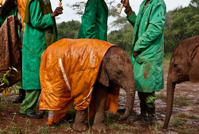 dedicated keepers at the david sheldrick wildlife trust's nairobi elephant nursery in kenya protect baby shukuru from the cold and rain, and the risk of pneumonia, with a custom-made raincoat. photo: michael nichols/national geographic