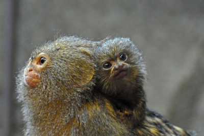 llbwwb:  Pygmy Marmoset & Young (by Truus & Zoo)