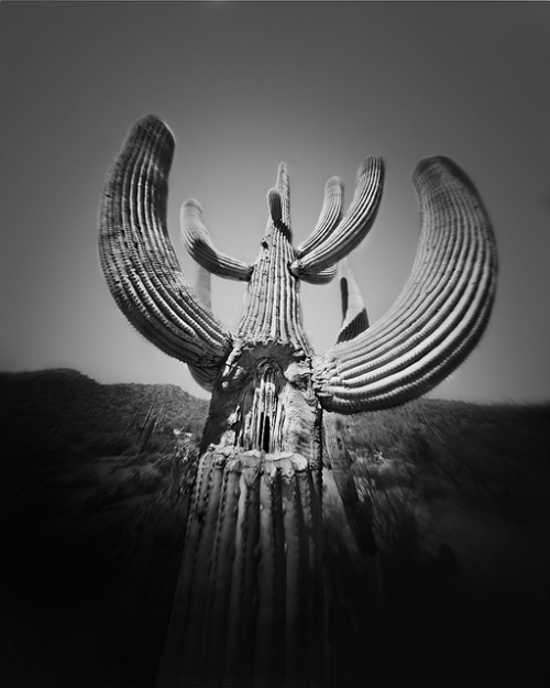 workman:  The Damaged Saguaro (4x5 Pinhole Photograph) by integrity_of_light on Flickr.