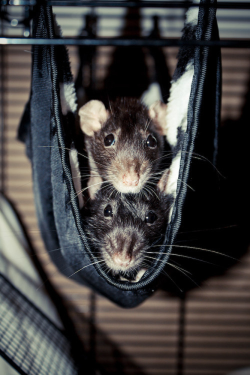 Ratty hammock snuggle time!