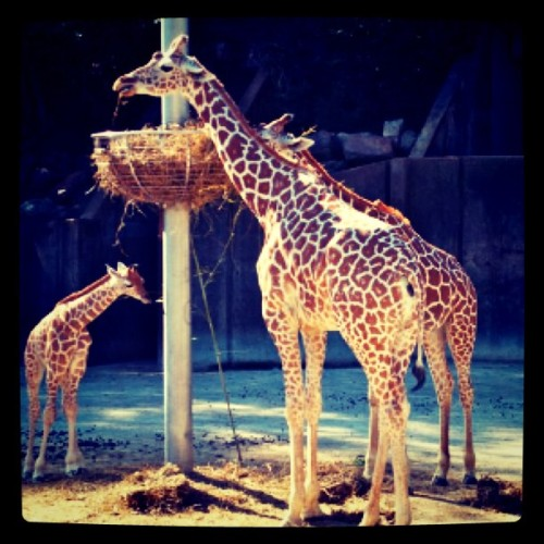 chelseaweaver:  New baby #giraffe at the #Memphis #zoo.  (Taken with Instagram at Memphis Zoo)