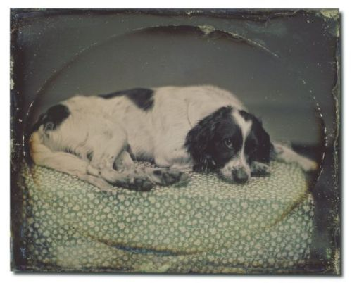 raspberrysquish:  Above you see a daguerreotype of a dog owned bySheldon K. Nichols, 1852-53. Daguerreotypes of animalsare rare and difficult to take due to long exposuresrequired. Sheldon K. Nichols, an early San Franciscodaguerreotypist, apparently coaxed his pet dog tolie still for the time it took to get this shot.