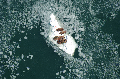 pulmonaire:  Walrus Cows on Ice Nursing Calves (by USFWSAlaska)