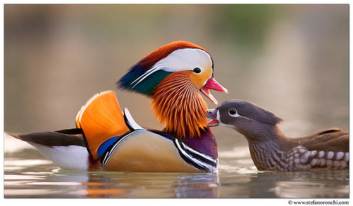Pair of MANDARIN DUCKSAix galericulata©Stefano Ronchi The Mandarin Duck, or just Mandarin, is a medium-sized perching duck, closely related to the North American Wood Duck. It is 41–49 cm long with a 65–75 cm wingspan. The species was once widespread in eastern Asia, but large-scale exports and the destruction of its forest habitat have reduced populations in eastern Russia and in China to below 1,000 pairs in each country; Japan, however, is thought to still hold some 5,000 pairs. Specimens frequently escape from collections, and in the 20th century  a feral population numbering about 1,000 pairs was established in Great Britain;  more recently small numbers have bred in Ireland. Black Mountain, North  Carolina also has a limited population. There is also a free-flying  feral population of several hundred mandarins in Sonoma County,  California. This population is the result of several mandarin ducks  escaping from captivity, then going on to reproduce in the wild. Source: http://en.wikipedia.org/wiki/Mandarin_Duck Other posts: Mandarin Male Preening Mandarin in Breeding plumage White Duck in the Snow White Faced Whistling Duck Brahminy Duck