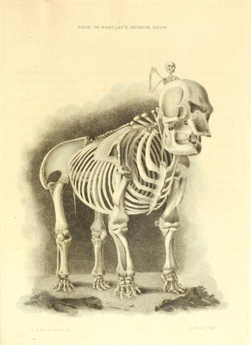 biomedicalephemera:  Elephant Skeleton Check out that big hole in the front of the head! It's not an eye socket - that's the nasal passage, where the trunk attaches. It's thought that elephant skulls found near ancient Greece inspired the myth of the Cyclops race. A Series of Engravings Representing the Human Skeleton. John Barclay, 1820.   One of my favorite facts about elephants. It also helps there used to be a species of elephant that used to live on Cyprus.