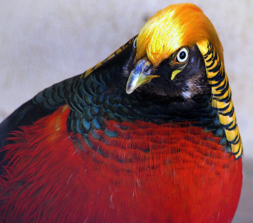 "GOLDEN PHEASANTChrysolophus pictus©catlovers The Golden Pheasant or ""Chinese Pheasant"" is native to forests in mountainous areas of western China but feral populations have been established in the United Kingdom and elsewhere. The adult male is 90–105 cm in length, its tail accounting for  two-thirds of the total length. It is unmistakable with its golden crest  and rump and bright red body. The deep orange ""cape"" can be spread in  display, appearing as an alternating black and orange fan that covers  all of the face except its bright yellow eye, with a pinpoint black  pupil. Despite the male's showy appearance, these hardy birds are very difficult to see in their natural habitat. Consequently, little is known of their behavior in the wild. They feed on the ground on grain, leaves and invertebrates,  but roost in trees at night. While they can fly, they prefer to run:  but if startled they can suddenly burst upwards at great speed, with a  distinctive wing sound. Although they can fly in short bursts they are quite clumsy in flight  and spend most of their time on the ground. Golden Pheasants lay 8-12  eggs at a time and will then incubate these for around 22–23 days. They  tend to eat berries, grubs, seeds and other types of vegetation. Source: http://en.wikipedia.org/wiki/Golden_Pheasant Other posts: Lady Amherst Pheasant Mikado Pheasant Bornean Peacock-Pheasant"